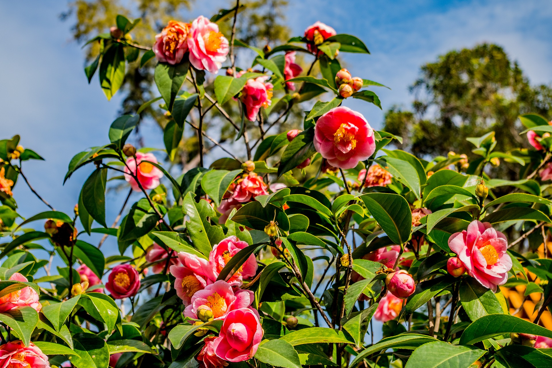 camellias-3983698_1920