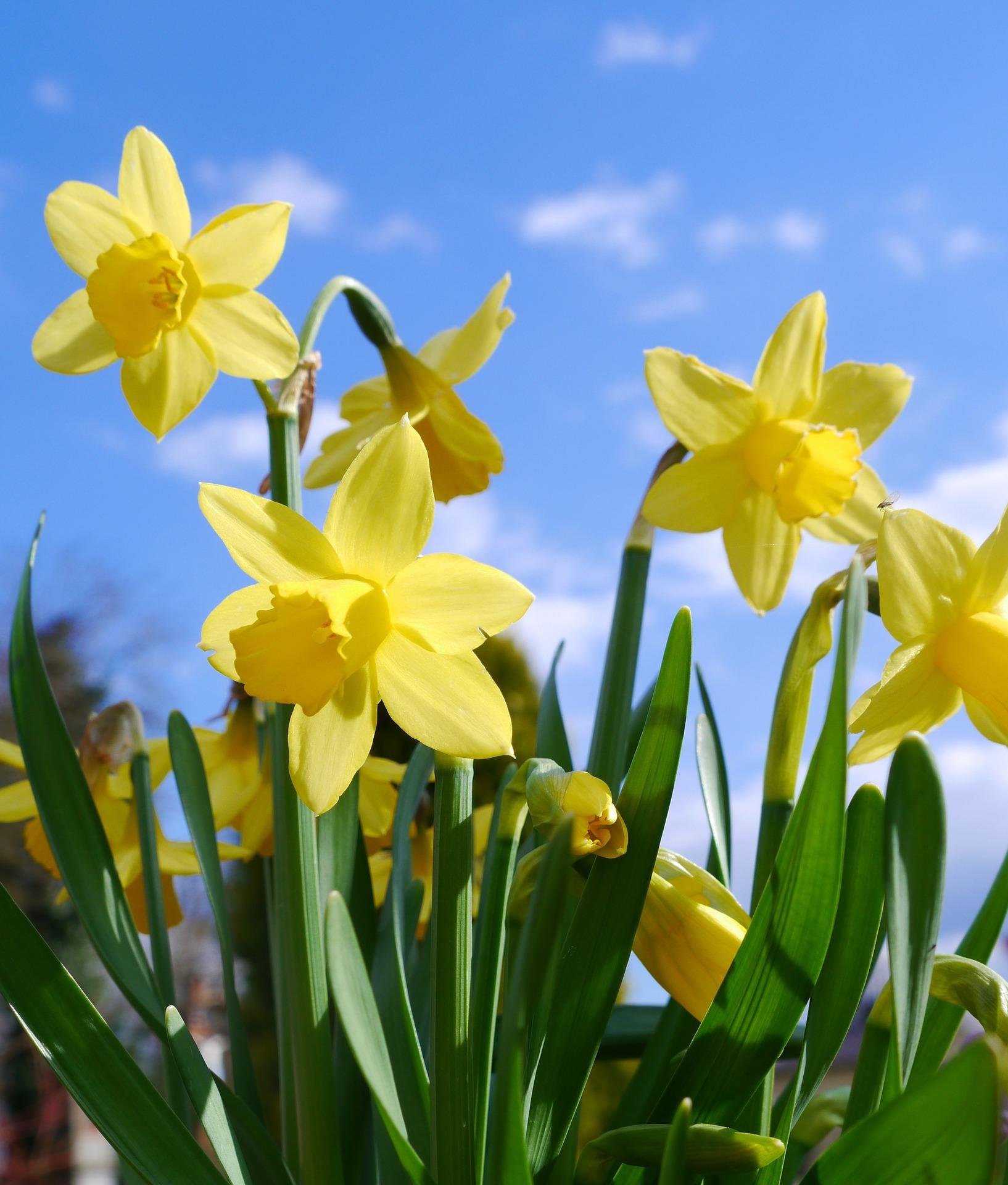 daffodils-2127010_1920