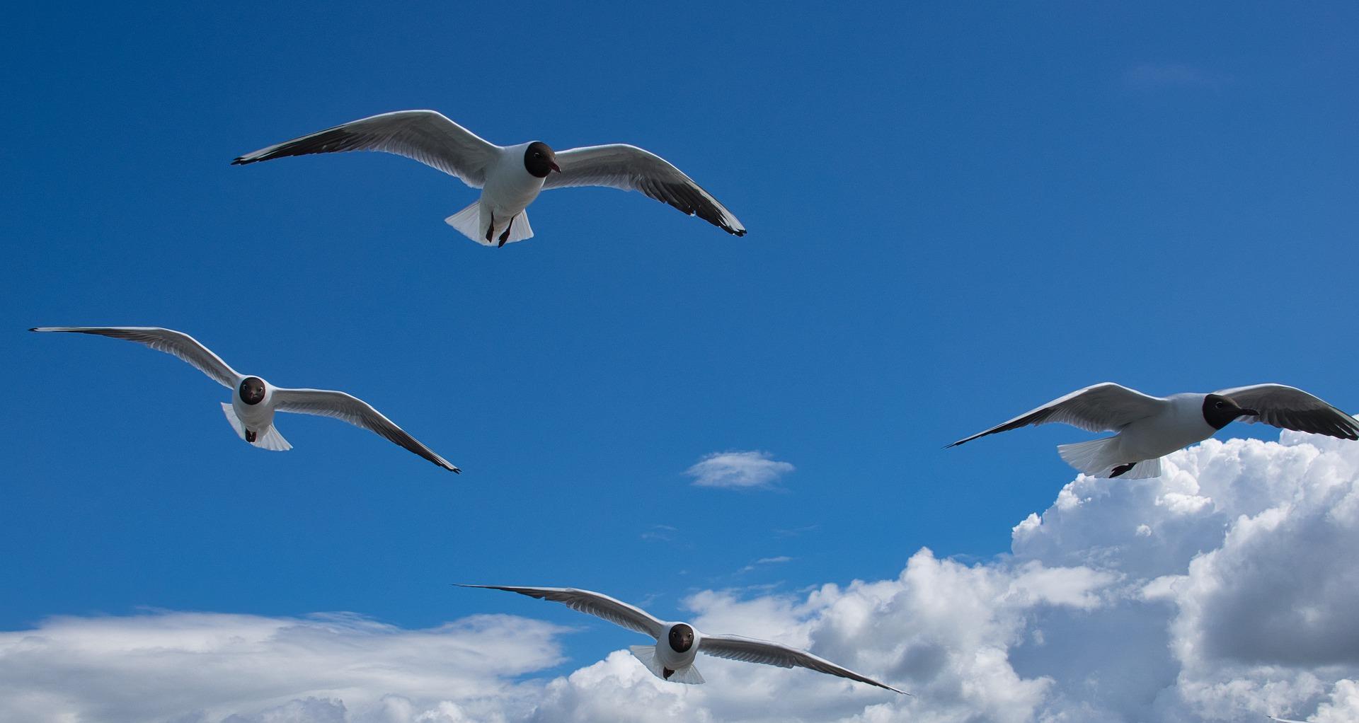 gulls-4204896_1920