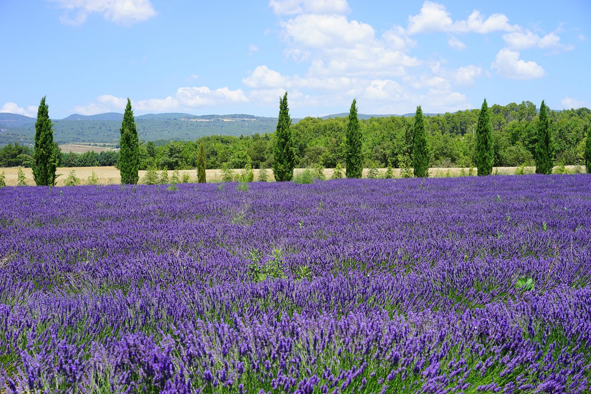 lavender-field-1595580_1920
